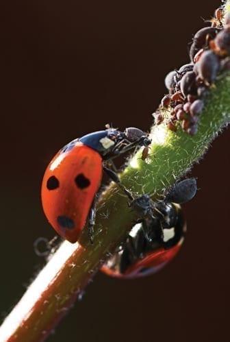biological gardening ladybird