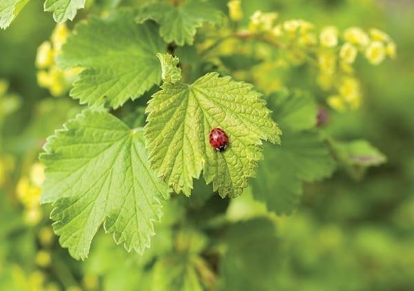biologicals ladybugs